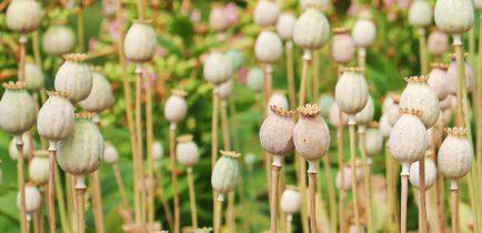 Aktualności - Uwaga producenci prowadzący uprawę maku i konopi włóknistej