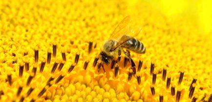 Aktualności - Chrońmy pszczoły